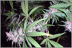 Plantas decannabis