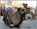 O descanso dos camelos dos Reis Magos