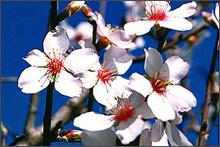 Flor daamendoeira