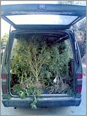 GNR com Cannabis