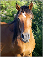 cavalo garrano
