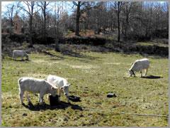 Vacas na Serra da Malcata